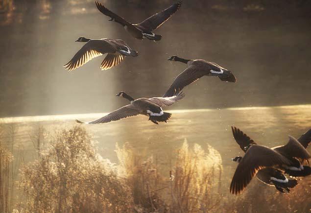 Весенняя охота на гуся