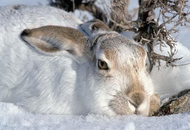 Зимняя охота на зайца-беляка